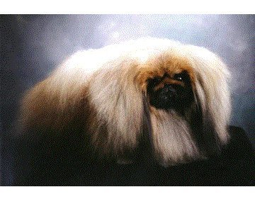 Ch Carrs Top Brass 1999 Best of Breed 1