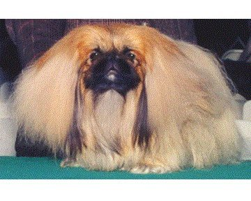 Ch Kings Court Social Lion 1995 Best of Breed 1