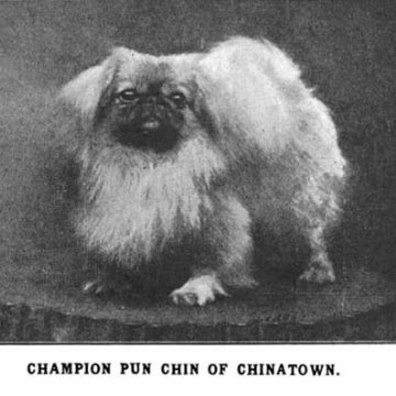 Ch Pun Chin of Chinatown 1921 Best In Show