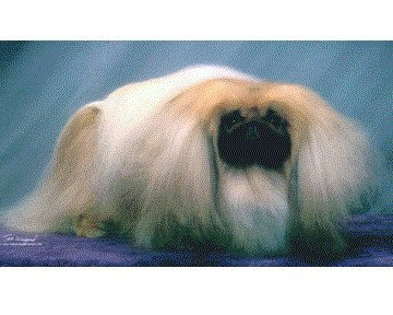 Ch Yakee If Only 2005 Best of Breed
