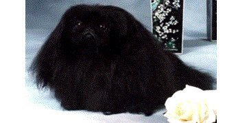 Ch Hopes Dash of Eberhard 1992 Best of Breed