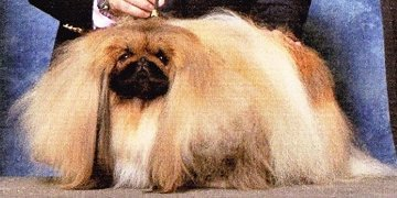 GCH Pequest General Tso 2015 Best of Breed