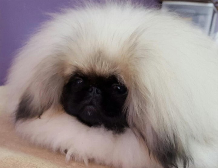 Pekingese laying on the grooming table