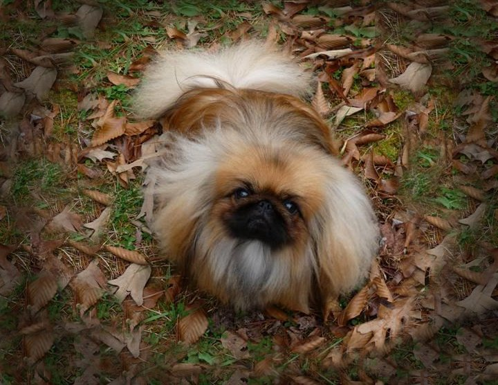 Pekingese looking up standing in the leaves