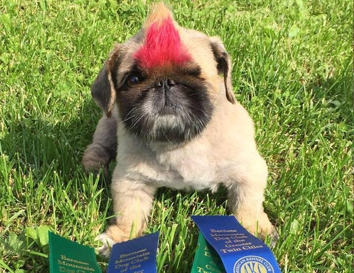 Pekingese with winning ribbons