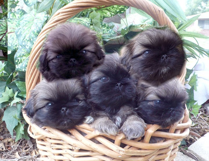 Basket full of Peke puppies