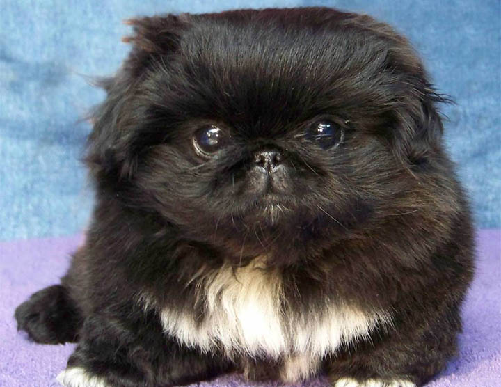 Black Peke Puppy