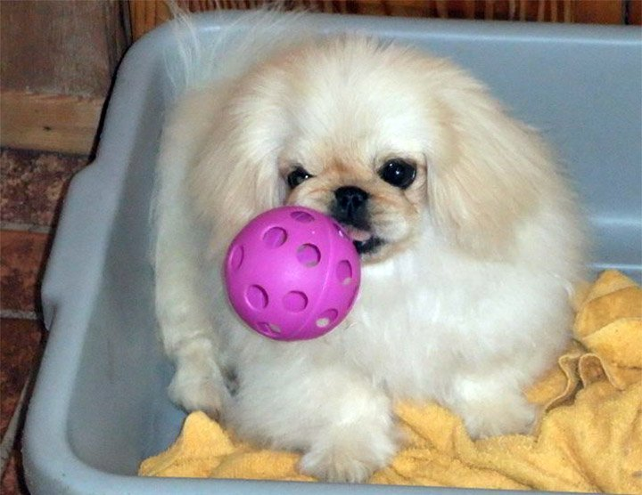 Blonde Peke playing with a pink ball