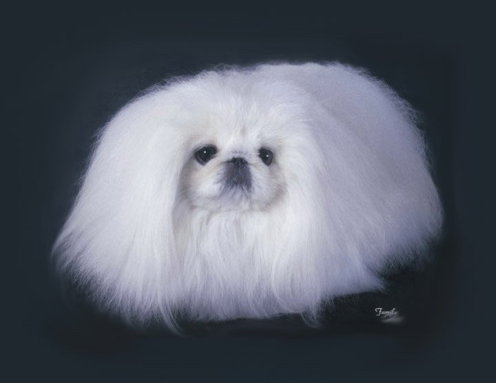 Example of a White Pekingese