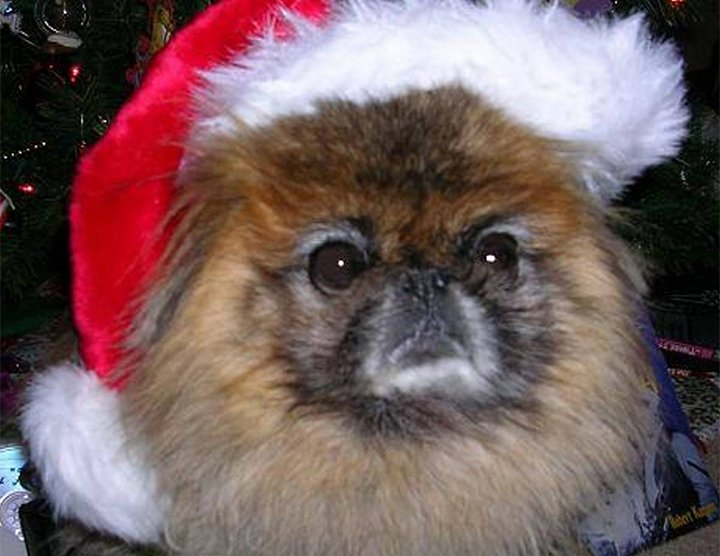 Old Peke boy wearing Santa hat