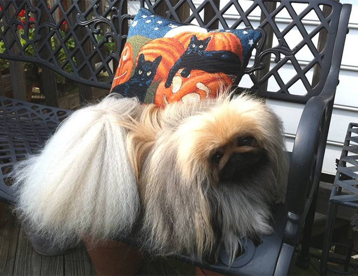 Peke on a bench