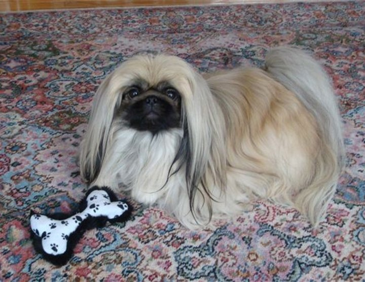 Peke on carpet playing with toy