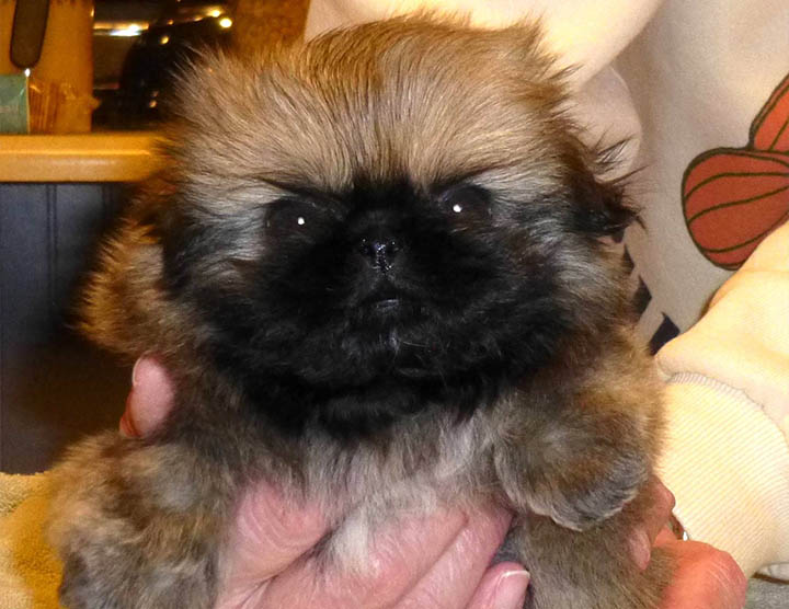 Red Peke Puppy