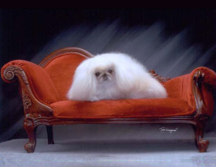 White Peke laying on an antique couch
